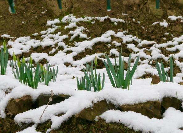 Daffodils in snow