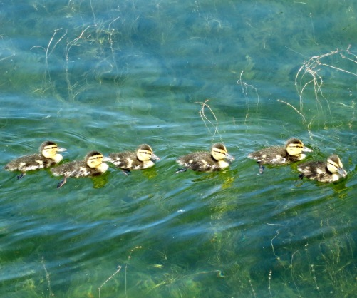 Ducklings on Dragon Lake near Quesnel, BC