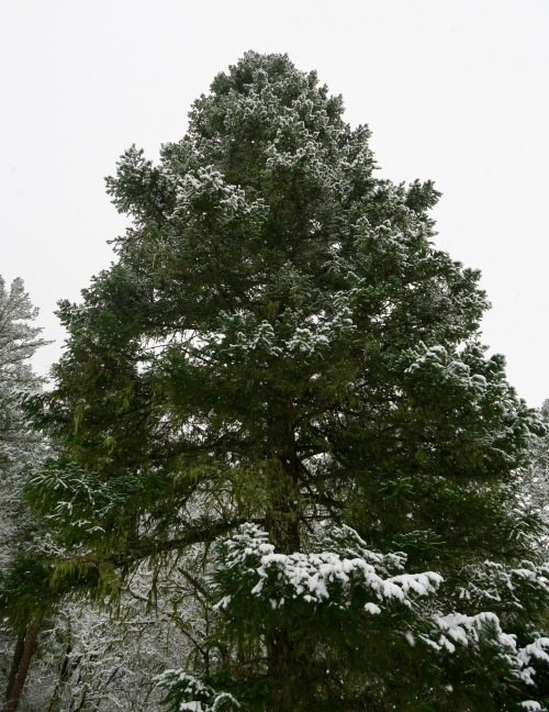 Douglas Fir on Applegate River dusted with snow.