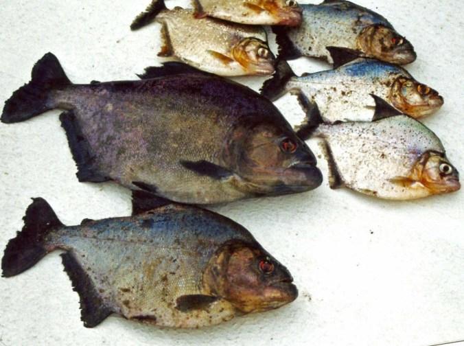 Piranha dinner