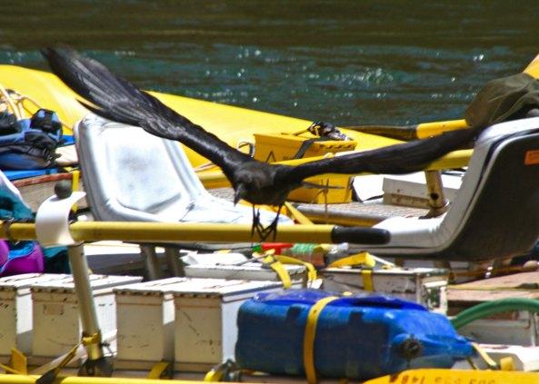 Raven arrives on raft in Colorado
