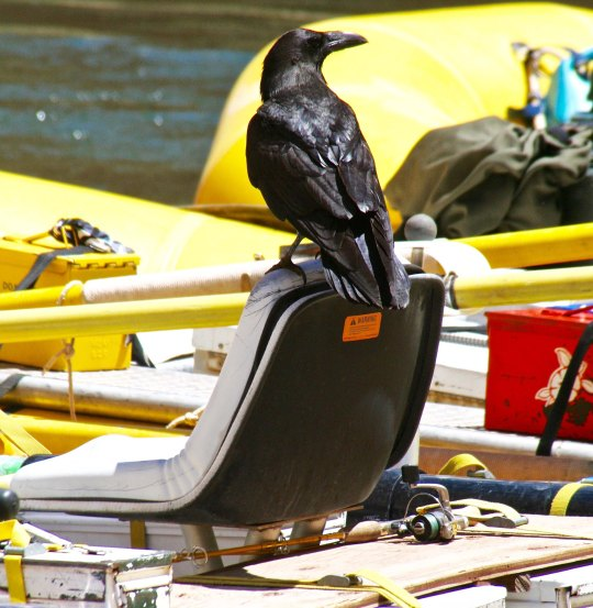 Raven visits on the Colorado in the Grand Canyon