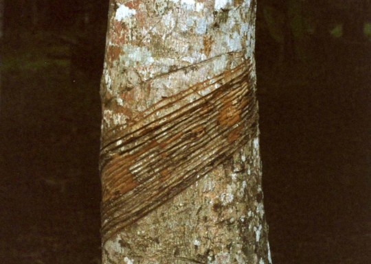 Rubber tree in Brazil