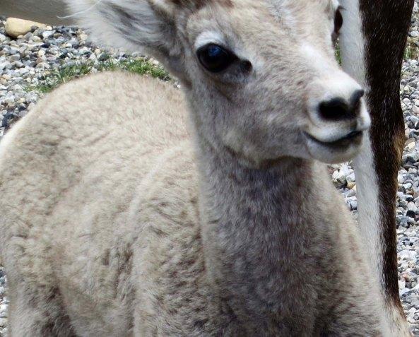 Stone sheep kid at Stone Mountain along the Alaska Highway