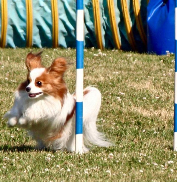 Weaving dog agility trials in Quesnel, BC