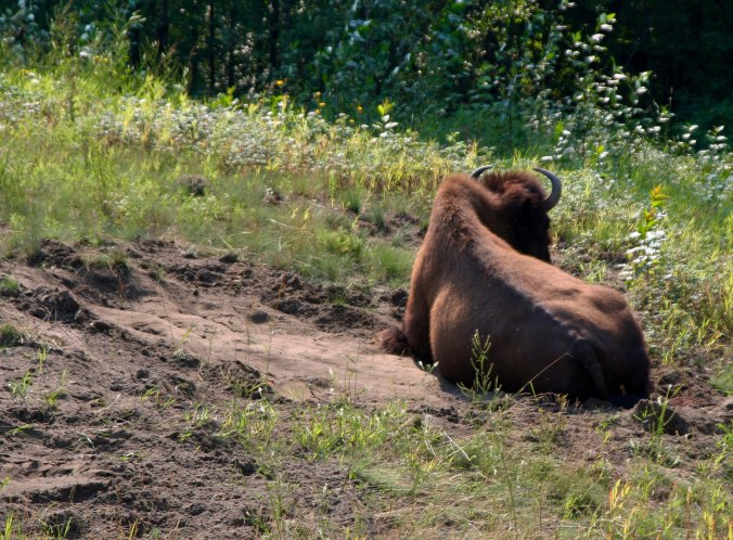 Woodland Bison and wallow in BC