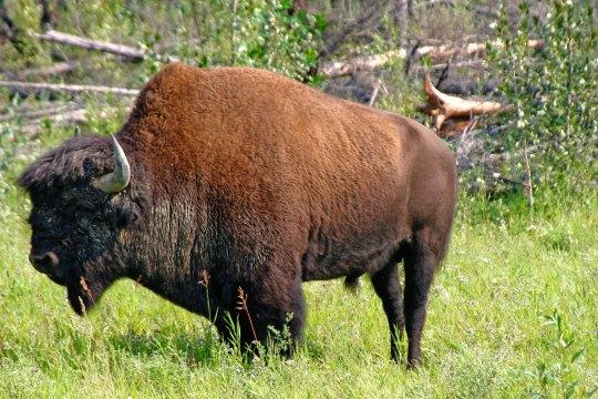 Woodland bison bull