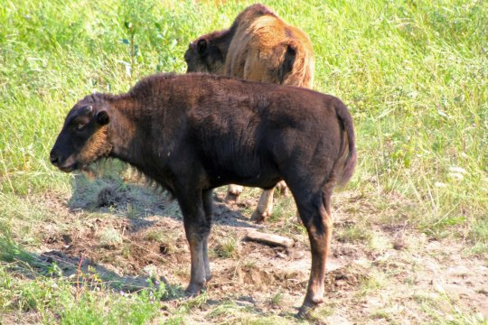Woodland bison calves