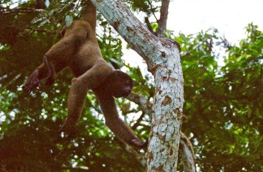 Wooley Amazon monkey