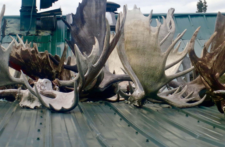 Antlers on roof, White River, Yukon