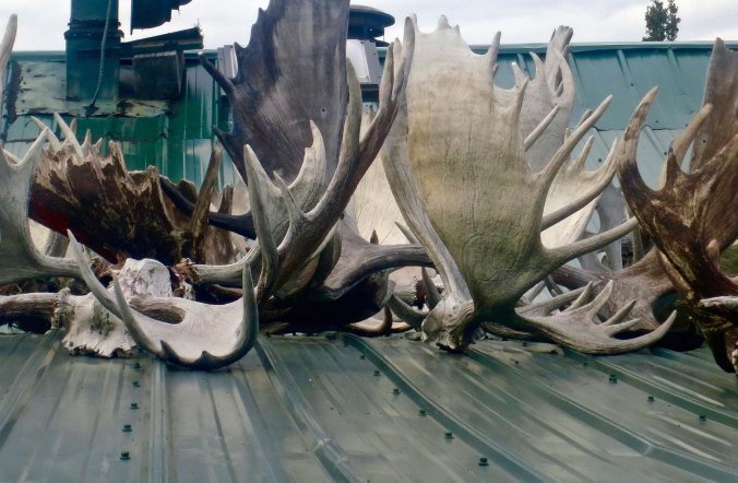 Antlers on roof, White River, Yukon