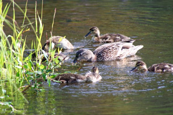 Duck family in Yukon Territory