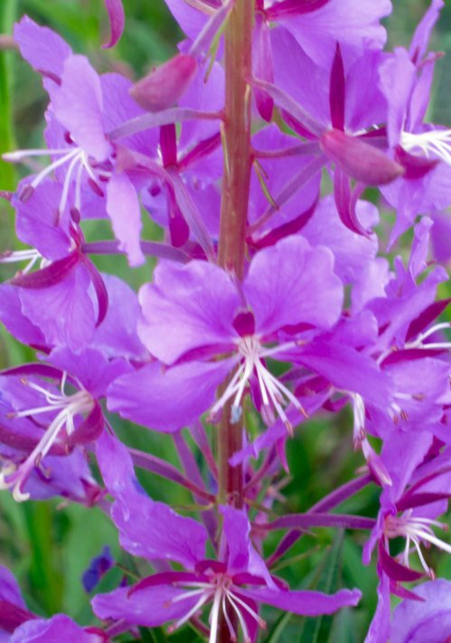 Fireweed along Alaska Highway