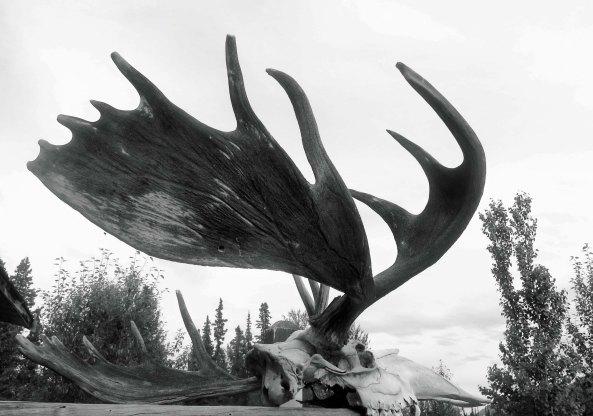 Moose antlers, Yukon Territory