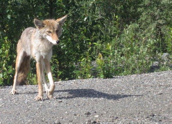 Skinny Coyote