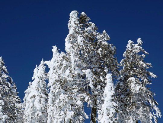Snow covered trees along the PCT near Mt. Ashland.