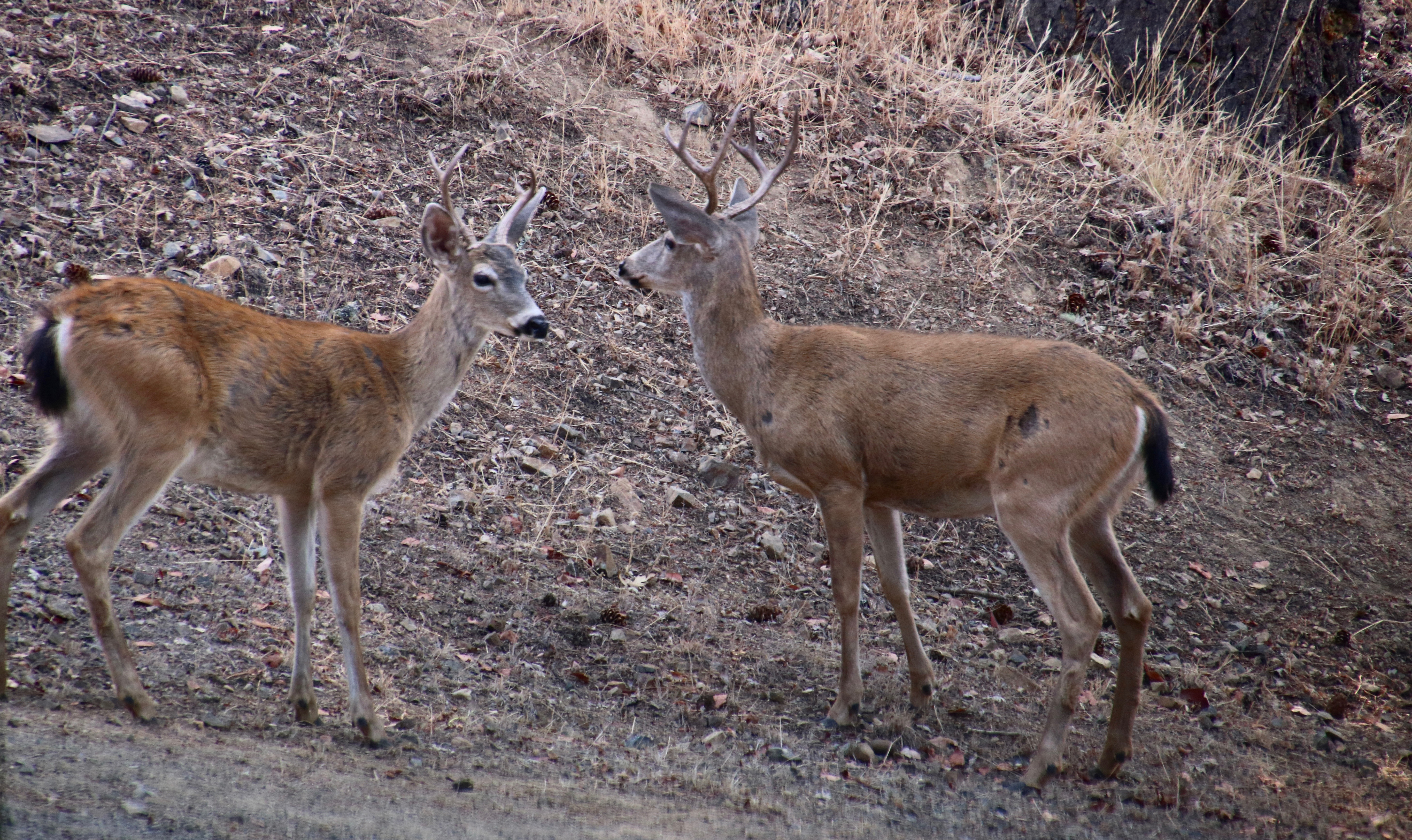 Black tail bucks check each other out in preparation for mating season. Photo by Curtis Mekemson.