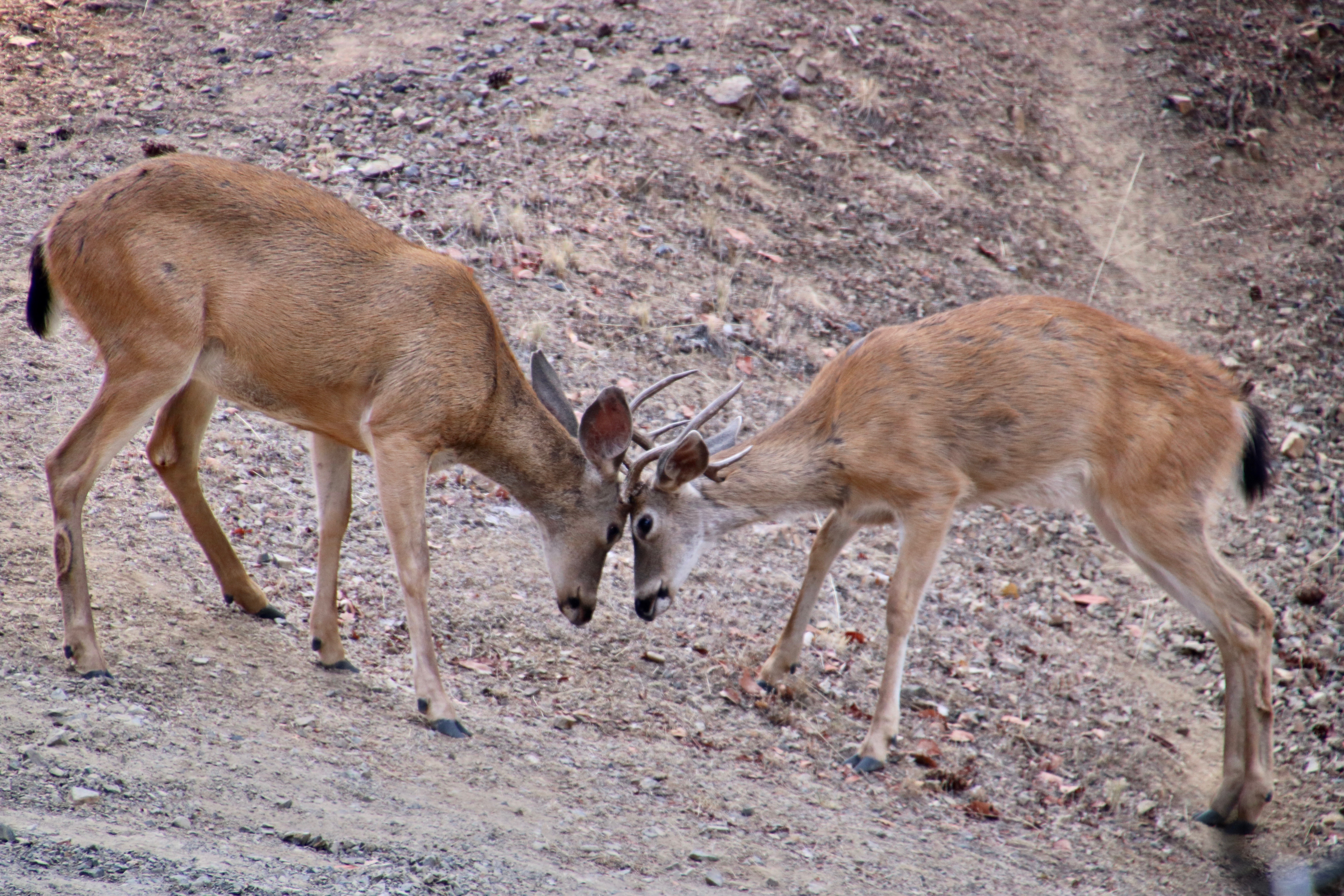 Bucks in Southern Oregon go at it with their antlers in preparation for mating season. Photo by Curtis Mekemson.